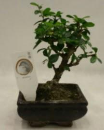 Küçük minyatür bonsai japon ağacı  Gümüşhane çiçek siparişi vermek