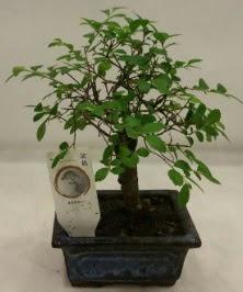 Minyatür ithal japon ağacı bonsai bitkisi  Gümüşhane cicek , cicekci
