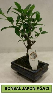 Bonsai japon ağacı saksı bitkisi  Gümüşhane çiçekçi telefonları
