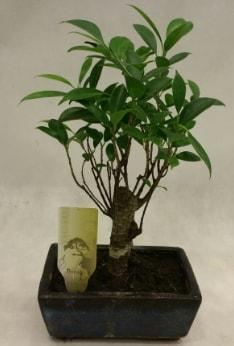 Japon ağacı bonsai bitkisi satışı  Gümüşhane online çiçek gönderme sipariş