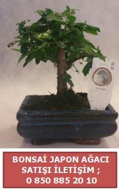 Japon ağacı minyaür bonsai satışı  Gümüşhane cicek , cicekci