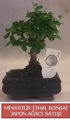 Küçük görsel bonsai japon ağacı bitkisi  Gümüşhane cicekciler , cicek siparisi