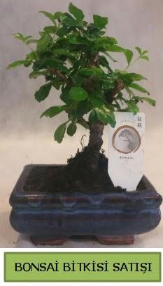 Bonsai ithal görsel minyatür japon ağacı  Gümüşhane uluslararası çiçek gönderme