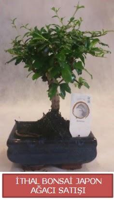 İthal küçük boy minyatür bonsai ağaç bitkisi  Gümüşhane online çiçek gönderme sipariş