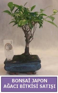 İthal Bonsai japon ağacı bitkisi satışı  Gümüşhane internetten çiçek satışı