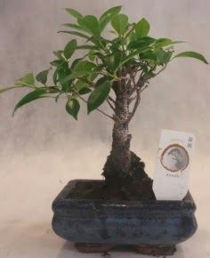 Bonsai ağacı japon ağaç bitkisi  Gümüşhane internetten çiçek siparişi