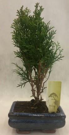 SINIRLI SAYIDA ÜRÜN Selvi Bonsai  Gümüşhane internetten çiçek satışı