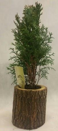 SINIRLI STOK Selvi Bonsai Doğal kütükte  Gümüşhane internetten çiçek satışı