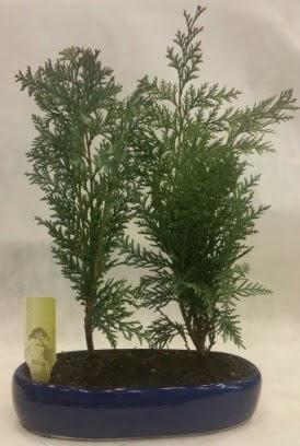SINIRLI SAYIDA Selvi Ağacı bonsai ikili  Gümüşhane online çiçek gönderme sipariş
