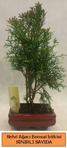 Selvi ağacı bonsai japon ağacı bitkisi  Gümüşhane cicek , cicekci