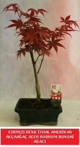 İTHAL ACER RUBRUM BONSAİ AĞACI  Gümüşhane çiçekçiler