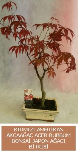 Amerikan akçaağaç Acer Rubrum bonsai  Gümüşhane çiçek yolla , çiçek gönder , çiçekçi