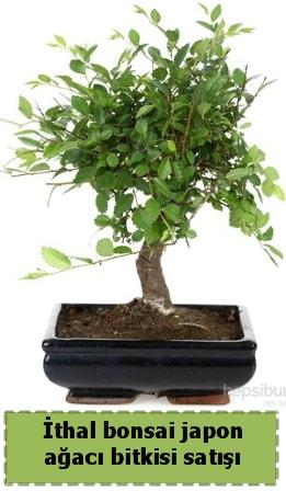 İthal bonsai saksı çiçeği Japon ağacı satışı  Gümüşhane internetten çiçek satışı