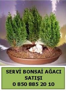 BONSAİ 3 LÜ SERVİ BONSAİ AĞACI  Gümüşhane online çiçek gönderme sipariş