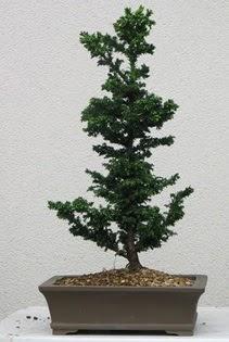 Çam ağacı bonsai bitkisi satışı  Gümüşhane online çiçek gönderme sipariş