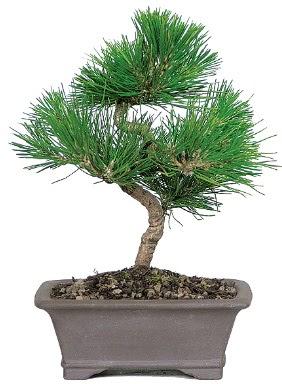 Çam ağacı bonsai japon ağacı bitkisi  Gümüşhane çiçek siparişi vermek