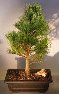 Çam ağacı japon ağacı bitkisi bonsai  Gümüşhane online çiçek gönderme sipariş