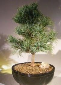 Çam ağacı bonsai bitkisi satışı  Gümüşhane uluslararası çiçek gönderme