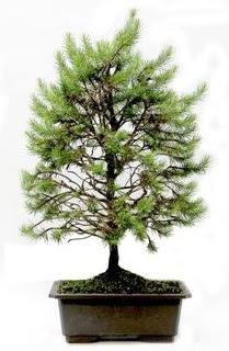 *** STOKTA YOK - Çam ağacı bonsai bitkisi satışı  Gümüşhane online çiçekçi , çiçek siparişi
