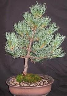 Bonsai çam ağacı japon ağacı bitkisi  Gümüşhane hediye sevgilime hediye çiçek