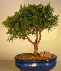 Servi çam bonsai japon ağacı bitkisi  Gümüşhane internetten çiçek siparişi