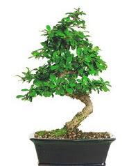 Bonsai bitkisi satışı  Gümüşhane online çiçek gönderme sipariş