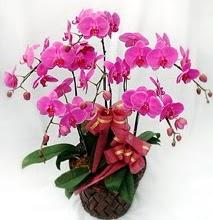 Sepet içerisinde 5 dallı lila orkide  Gümüşhane uluslararası çiçek gönderme