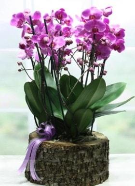 Kütük içerisinde 6 dallı mor orkide  Gümüşhane uluslararası çiçek gönderme