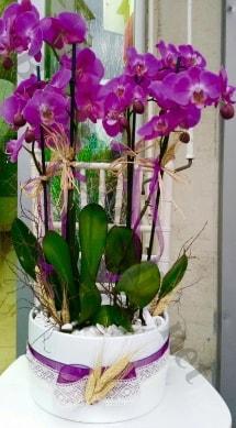 Seramik vazoda 4 dallı mor lila orkide  Gümüşhane güvenli kaliteli hızlı çiçek