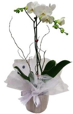 Tek dallı beyaz orkide  Gümüşhane yurtiçi ve yurtdışı çiçek siparişi