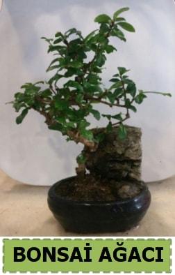 Bonsai ağacı japon ağacı satışı  Gümüşhane 14 şubat sevgililer günü çiçek