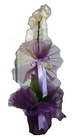 Tek dallı beyaz orkide süper kalite ithal  Gümüşhane hediye sevgilime hediye çiçek