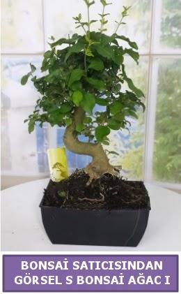 S dal eğriliği bonsai japon ağacı  Gümüşhane cicek , cicekci