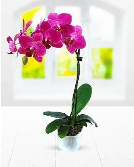 Tek dallı mor orkide  Gümüşhane cicek , cicekci