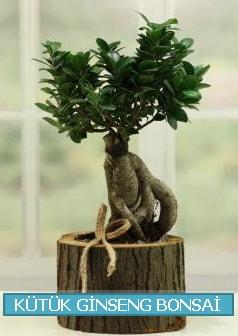 Kütük ağaç içerisinde ginseng bonsai  Gümüşhane çiçekçiler