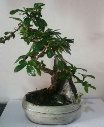 S şeklinde ithal bonsai ağacı  Gümüşhane internetten çiçek siparişi