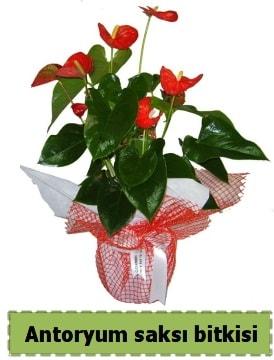 Antoryum saksı bitkisi satışı  Gümüşhane cicekciler , cicek siparisi