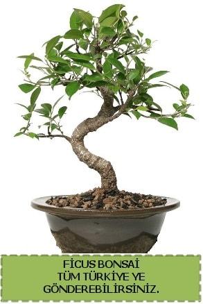 Ficus bonsai  Gümüşhane çiçekçiler