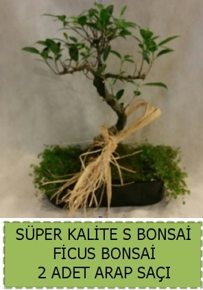 Ficus S Bonsai ve arap saçı  Gümüşhane online çiçek gönderme sipariş