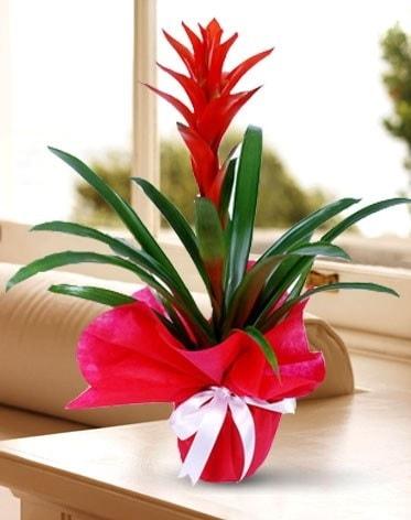 Guzmanya Saksı Çiçeği  Gümüşhane internetten çiçek siparişi