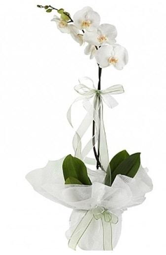 Tekli Beyaz Orkide  Gümüşhane 14 şubat sevgililer günü çiçek