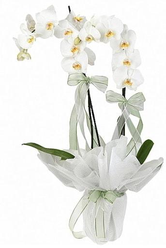 Çift Dallı Beyaz Orkide  Gümüşhane çiçek gönderme sitemiz güvenlidir