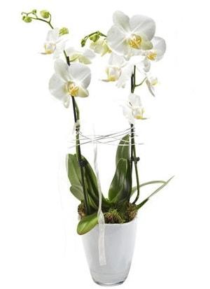 2 dallı beyaz seramik beyaz orkide saksısı  Gümüşhane çiçekçiler