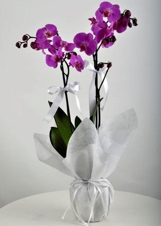 Çift dallı saksıda mor orkide çiçeği  Gümüşhane kaliteli taze ve ucuz çiçekler