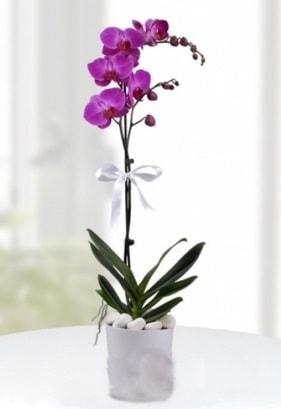 Tek dallı saksıda mor orkide çiçeği  Gümüşhane çiçek servisi , çiçekçi adresleri