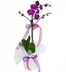 Tek dallı saksıda ithal mor orkide çiçeği  Gümüşhane çiçek servisi , çiçekçi adresleri