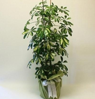 Şeflera salon bitkisi  Gümüşhane çiçek siparişi vermek