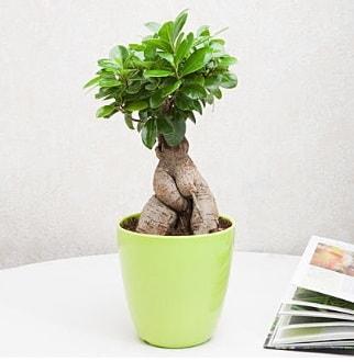 Ficus Ginseng Bonsai  Gümüşhane İnternetten çiçek siparişi
