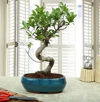 Amazing Bonsai Ficus S İthal  Gümüşhane çiçek mağazası , çiçekçi adresleri