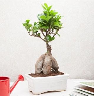 Exotic Ficus Bonsai ginseng  Gümüşhane çiçekçi telefonları